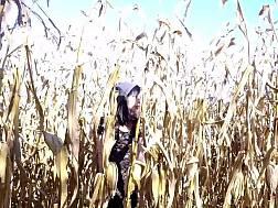 amateur cornfield
